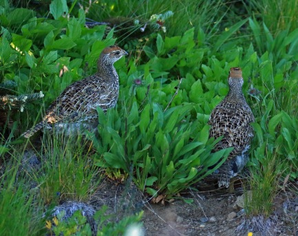 Sooty Grouse Chicks