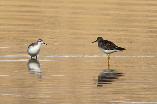 Staredown Wilson's Phalarope and Lesser Yellowlegs