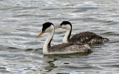 Western and Clark's Grebes