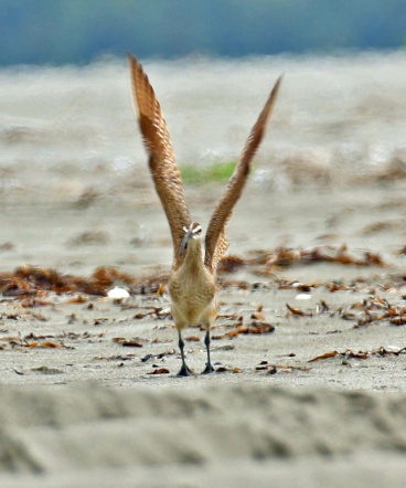 Whimbrel Wings