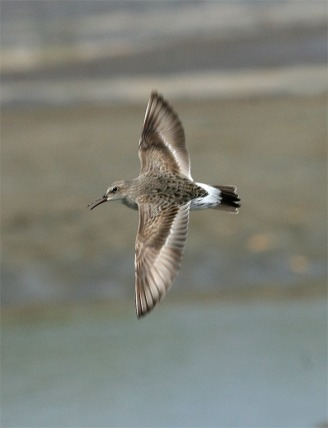 White-rumped Sandpiper Flying Showing Rump 1 MF_2