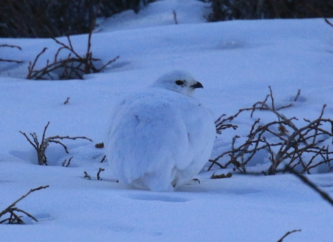 White Tailed Ptarmigan 7