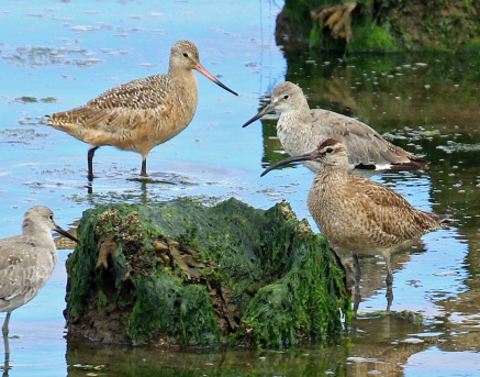 Willet Godwit and Whimbrel