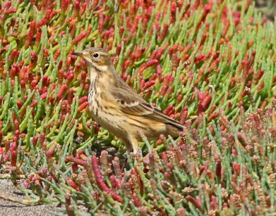 american-pipit