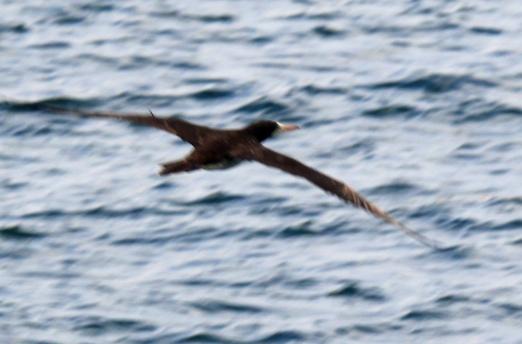 brown-booby-flight