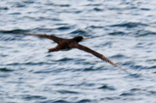 brown-booby-flight