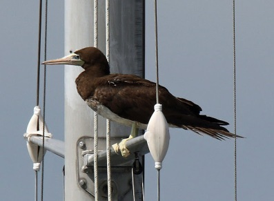 brown-booby-on-mast1