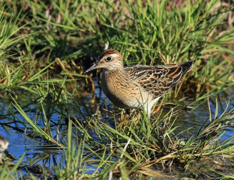 sharp-tailed-sandpiper1