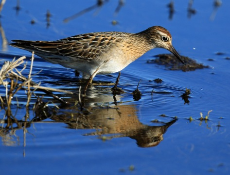 sharp-tailed-sandpiper4