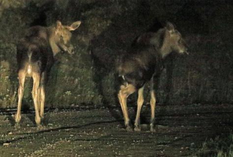2-moose-on-road