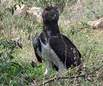 43-martial-eagle4
