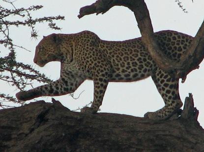 45-leopard-4