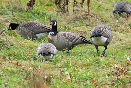 cackling-goose-banded