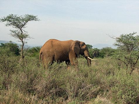 classic-elephant