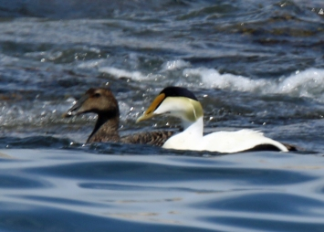 common-eider-pair
