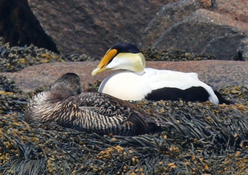 common-eiders-2