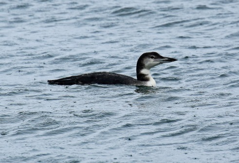 common-loon