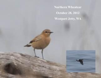 northern-wheatear