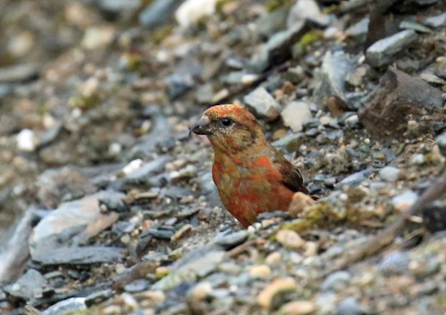 red-crossbill2