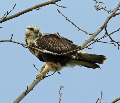 rough-legged-hawk1