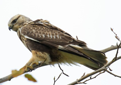 rough-legged-hawk5