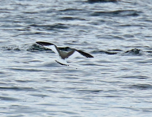 sabines-gull-flight1
