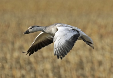 snow-goose-flight3
