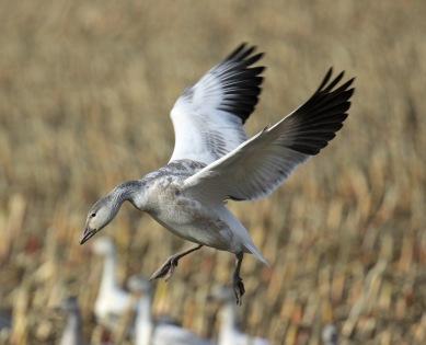 snow-goose-wings