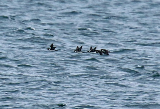 ancient-murrelets