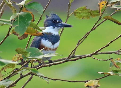 belted-kingfisher-female