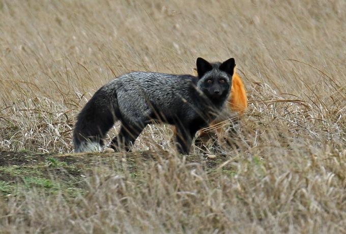black-fox1