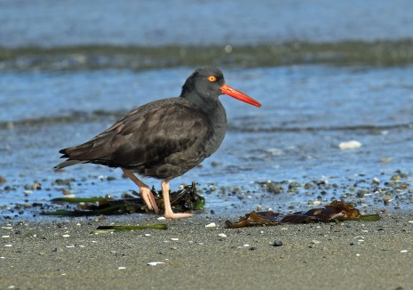 Black Oystercatcher.jpg