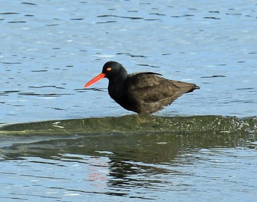 black-oystercatcher