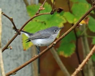 blue-gray-gnatcatcher1