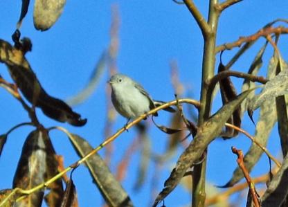 blue-gray-gnatcatcher2