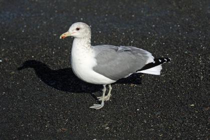 california-gull
