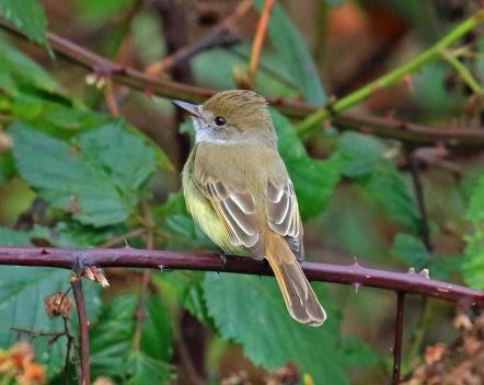 dusky-capped-flycatcher