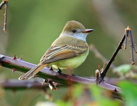 dusky-capped-flycatcher3