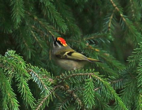 golden-crowned-kinglet