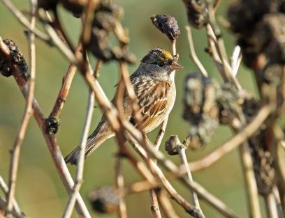 golden-crowned-sparrow
