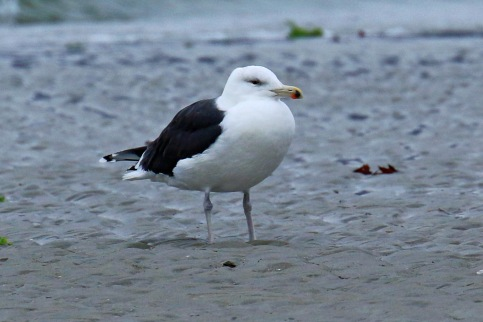 greater-black-backed-gull
