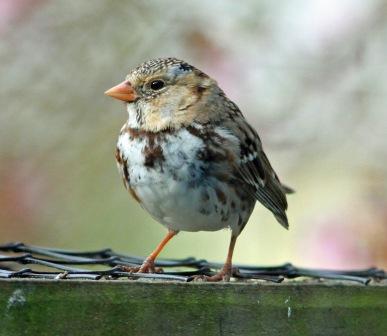 harriss-sparrow5-2