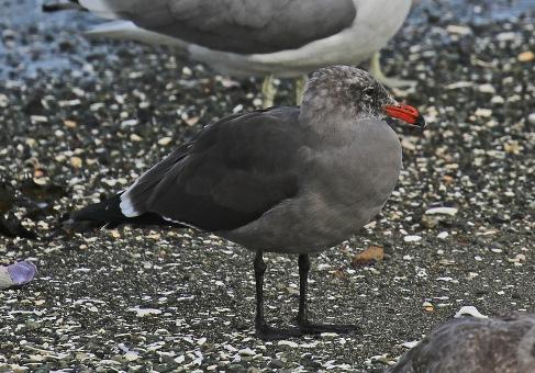 heermans-gull