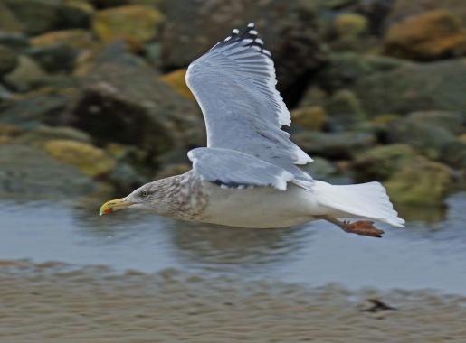 herring-gull-flight