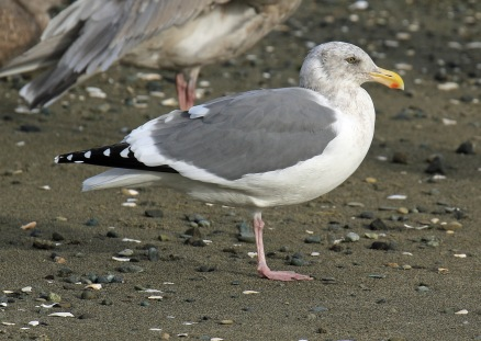 herring-gull2