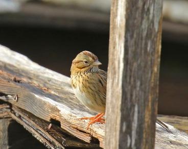 lincoln-sparrow1