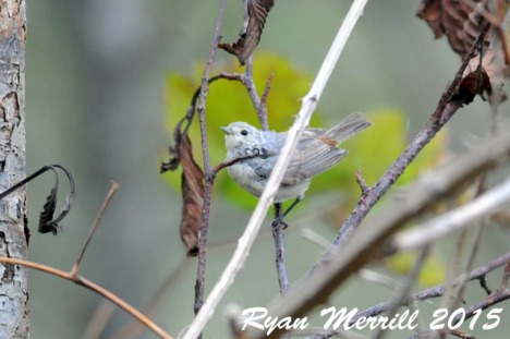 lucys-warbler