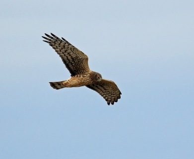 northern-harrier4