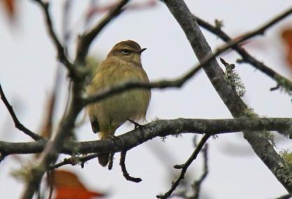 palm-warbler-nb