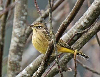 palm-warbler1